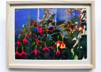 The piece is a photographic image, A4 size and horizontal. This image was created in the artist's bathroom. The scene is the window of the room. Two fuchsia plants are in the foreground, sitting next to each other. They are in front of a piece of delicate, voile curtain, which is decorated with printed blue roses with green leaves. The fuchsia on the left has emerald and bottle-green shaded leaves, with intense pink and magenta flowers. The shape of the fuchsia flowers is almost other-worldly in its complexity and beauty. There are several outer petals in the intense pink and the inner petals are of magenta hue. From the very centre of each flower, there hangs a candy-pink and white pollen-dusty, sticky stamen. The fuchsia on the right is similar to the one on the left, but with reddish-pink outer petals which have just begun their withering process. The inner petals of the right fuchsia are a delicious creamy-white. The stamens of these flowers are bright pink and a deep, beetroot red. The foliage is healthy, lush and verdant. Outside the window lies a mysterious, blue night.
